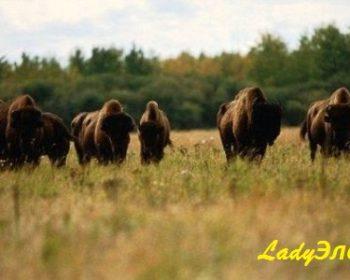 nacionalnyj-park-vud-baffalo