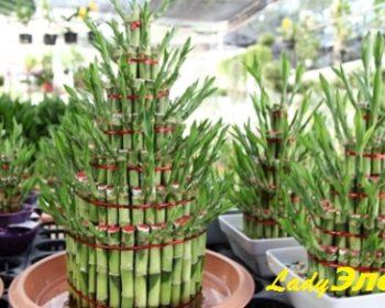 bambuk-dracena-sanderiana